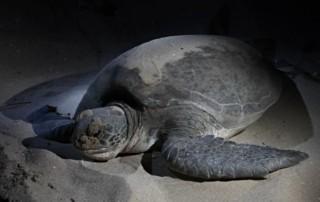 Sur plaža kornjača, Oman